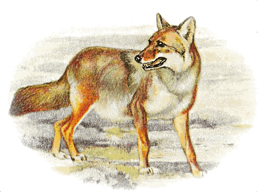Free Coyote Clipart