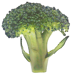 Free Broccoli Clipart